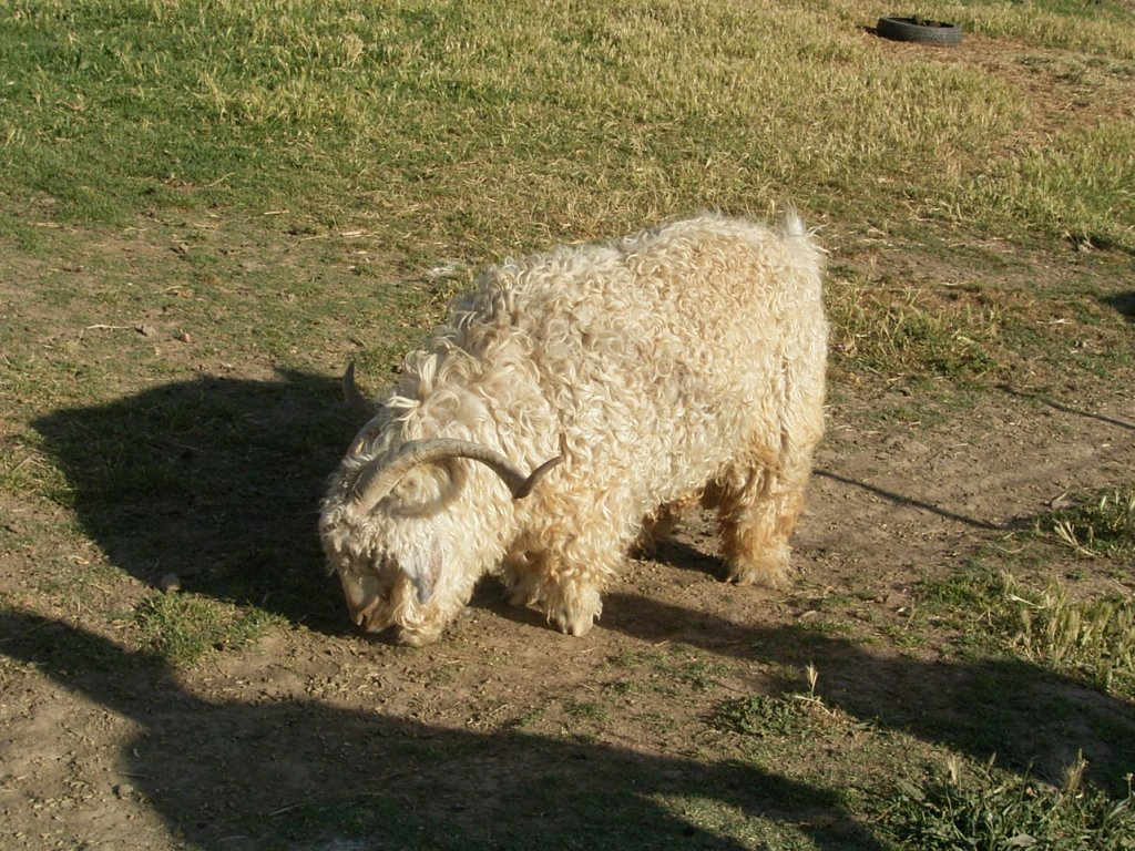 woolly sheep  photography