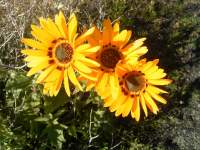 south african veld flowers 17