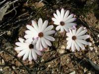 south african veld flowers 26