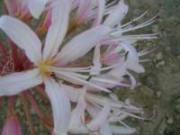 south african veld flowers 39